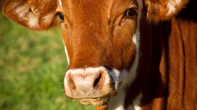 Durf jij een koe cadeau te geven?