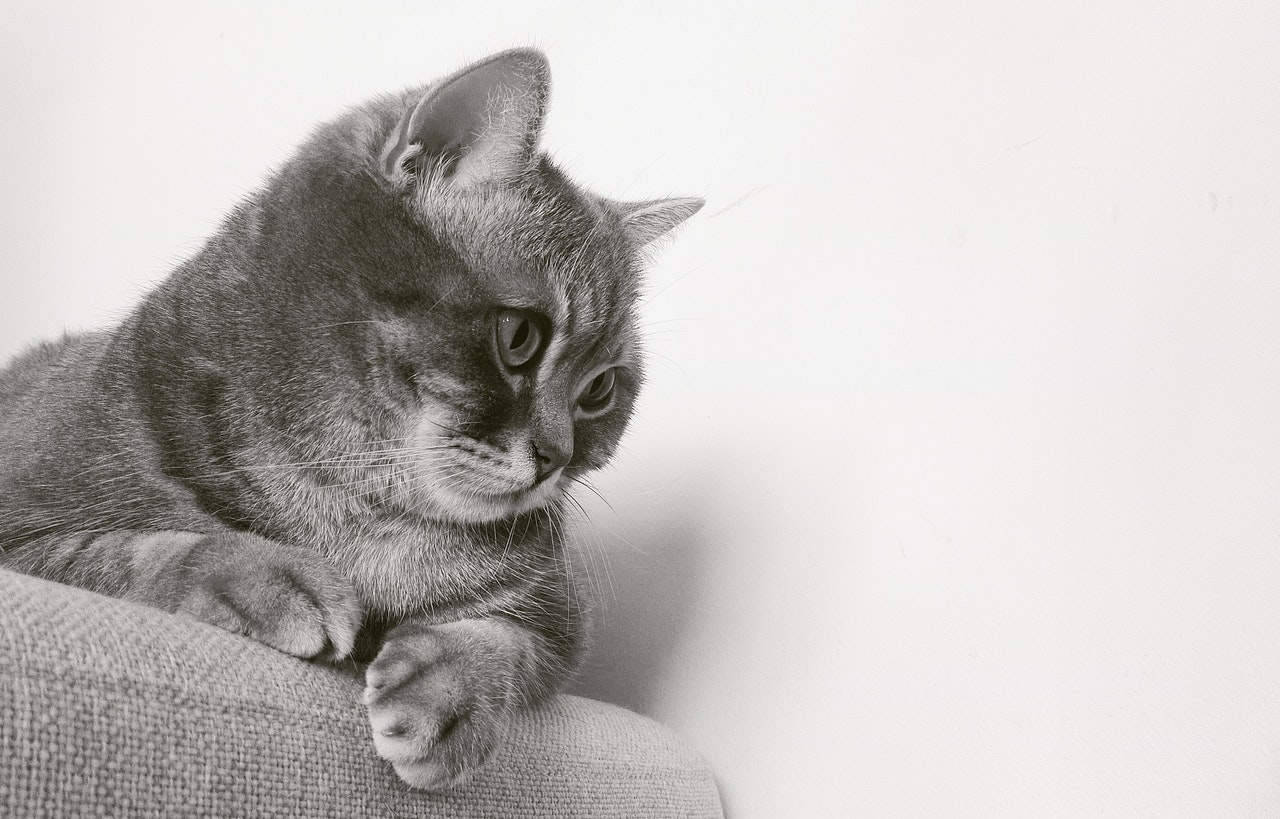 Hoe kan een kat wennen aan een kattenluik?
